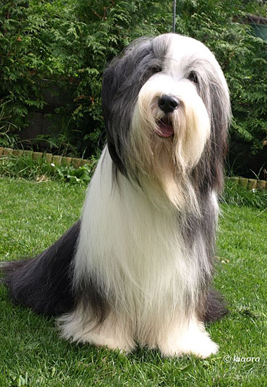 Firstprizebears Bearded Collies Can Be Found All Over The